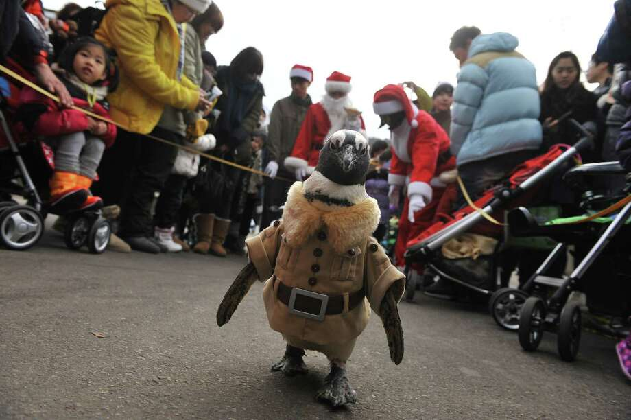 A penguin dressed in a zookeeper costume is paraded at an amusement park for a promotional event ahead of Christmas in Yongin, south of Seoul, on December 18, 2013. Everland, South Korea's largest amusement park, organized the event to launch its Christmas festival season.      AFP PHOTO / Woohae CHOWOOHAE CHO/AFP/Getty Images Photo: WOOHAE CHO, Getty / AFP