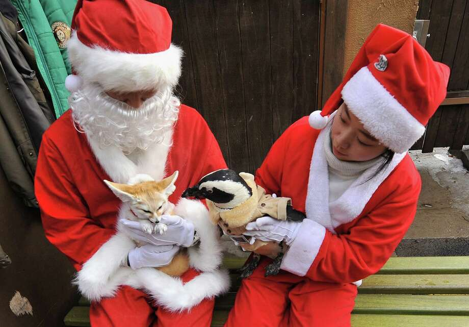 Trainers dressed Santa Claus costumes take care of a penguin (R) and a fennec fox (L) dressed in costumes for a promotional event at an amusement park ahead of Christmas in Yongin, south of Seoul, on December 18, 2013. Everland, South Korea's largest amusement park, organized the event to launch its Christmas festival season.      AFP PHOTO / Woohae CHOWOOHAE CHO/AFP/Getty Images Photo: WOOHAE CHO, Getty / AFP