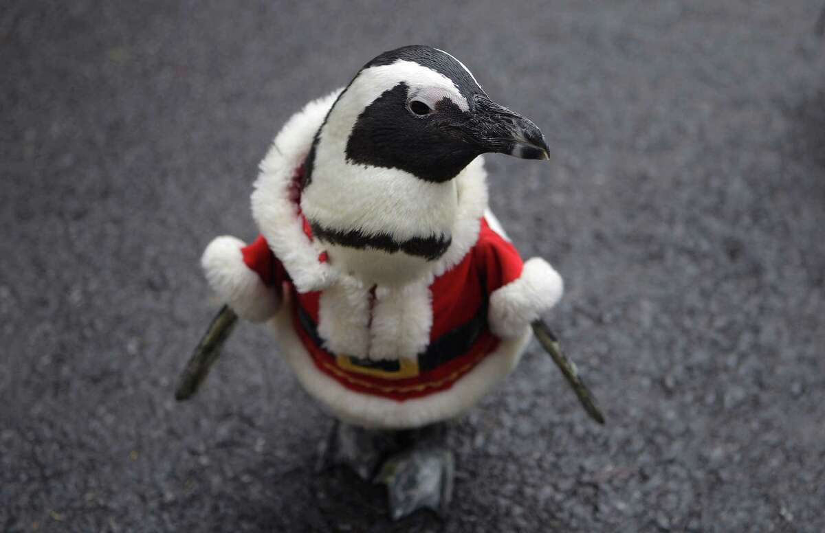 YONGIN, SOUTH KOREA - DECEMBER 18: A penguin dressed in a Santa costume is paraded at Everland, South Korea's largest amusement park on December 18, 2013 in Yongin, South Korea. Many Christian and non-Christian Koreans celebrate the holiday by exchanging gifts, caroling and participating in church services. South Korea is the only east Asian nation that recognises Christmas as a national holiday. (Photo by Chung Sung-Jun/Getty Images) ORG XMIT: 458194737