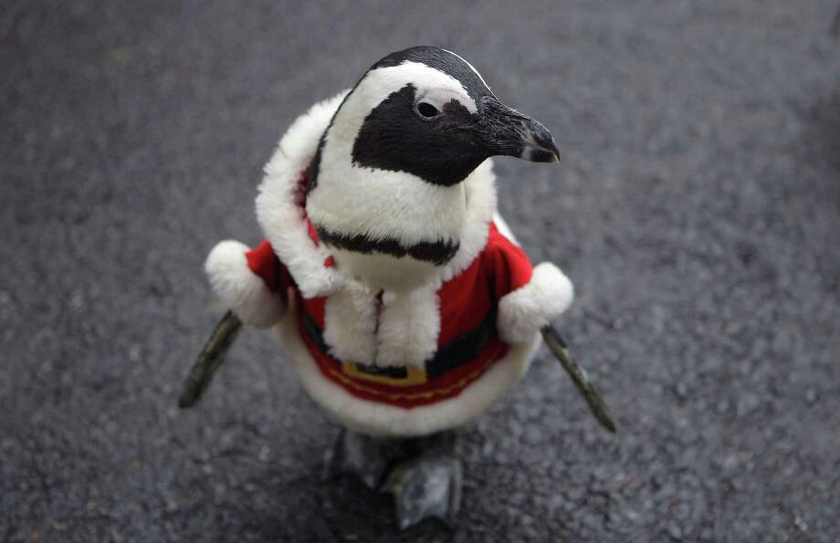 YONGIN, SOUTH KOREA - DECEMBER 18:  A penguin dressed in a Santa costume is paraded at Everland, South Korea's largest amusement park on December 18, 2013 in Yongin, South Korea. Many Christian and non-Christian Koreans celebrate the holiday by exchanging gifts, caroling and participating in church services. South Korea is the only east Asian nation that recognises Christmas as a national holiday.  (Photo by Chung Sung-Jun/Getty Images) ORG XMIT: 458194737 Photo: Chung Sung-Jun, Getty / 2013 Getty Images