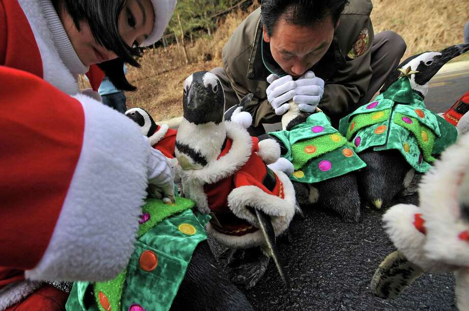 Trainers dress penguins in various Christmas costumes before they are paraded at an amusement park for a promotional event in Yongin, south of Seoul, on December 18, 2013. Everland, South Korea's largest amusement park, organized the event to launch its Christmas festival season.      AFP PHOTO / Woohae CHOWOOHAE CHO/AFP/Getty Images Photo: WOOHAE CHO, Getty / AFP