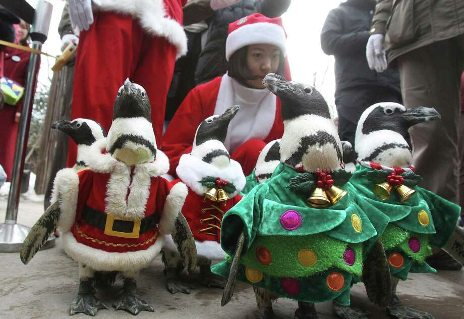 Penguins, dressed in Santa Claus and Christmas tree costumes, parade through spectators during a Christmas event at the Everland amusement park in Yongin, South Korea, Wednesday, Dec. 18, 2013. Christmas is one of the biggest holidays in South Korea as over half the population are Christians. (AP Photo/Ahn Young-joon) ORG XMIT: SEL102 Photo: Ahn Young-joon, AP / AP