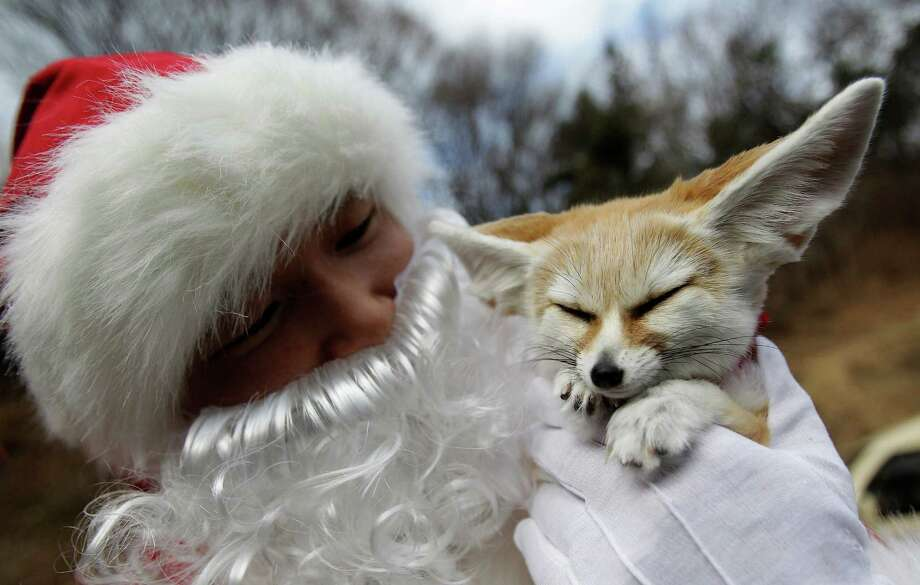 YONGIN, SOUTH KOREA - DECEMBER 18:  A helper dressed as Santa Claus holds a Fennec fox at Everland, South Korea's largest amusement park on December 18, 2013 in Yongin, South Korea. Many Christian and non-Christian Koreans celebrate the holiday by exchanging gifts, caroling and participating in church services. South Korea is the only east Asian nation that recognises Christmas as a national holiday.  (Photo by Chung Sung-Jun/Getty Images) ORG XMIT: 458194737 Photo: Chung Sung-Jun, Getty / 2013 Getty Images