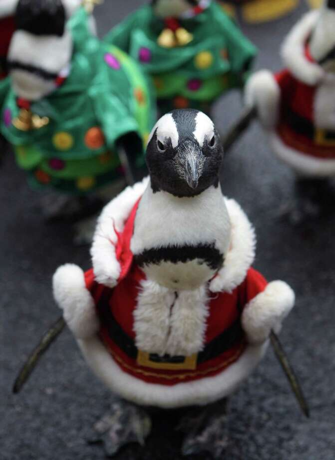YONGIN, SOUTH KOREA - DECEMBER 18:  Penguins dressed in Santa costumes and Christmas tree costumes are paraded at Everland, South Korea's largest amusement park on December 18, 2013 in Yongin, South Korea. Many Christian and non-Christian Koreans celebrate the holiday by exchanging gifts, caroling and participating in church services. South Korea is the only east Asian nation that recognises Christmas as a national holiday.  (Photo by Chung Sung-Jun/Getty Images) ORG XMIT: 458194737 Photo: Chung Sung-Jun, Getty / 2013 Getty Images