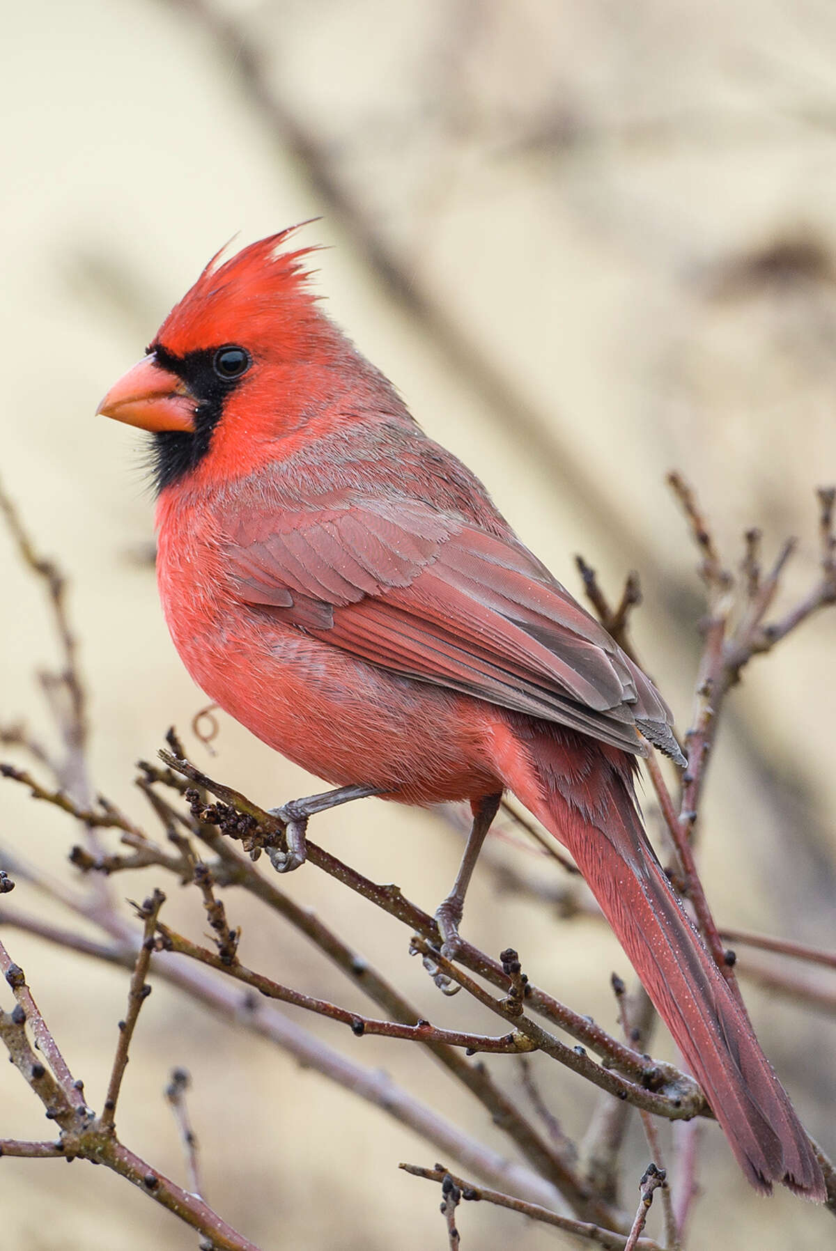 Northern cardinals don't migrate.
