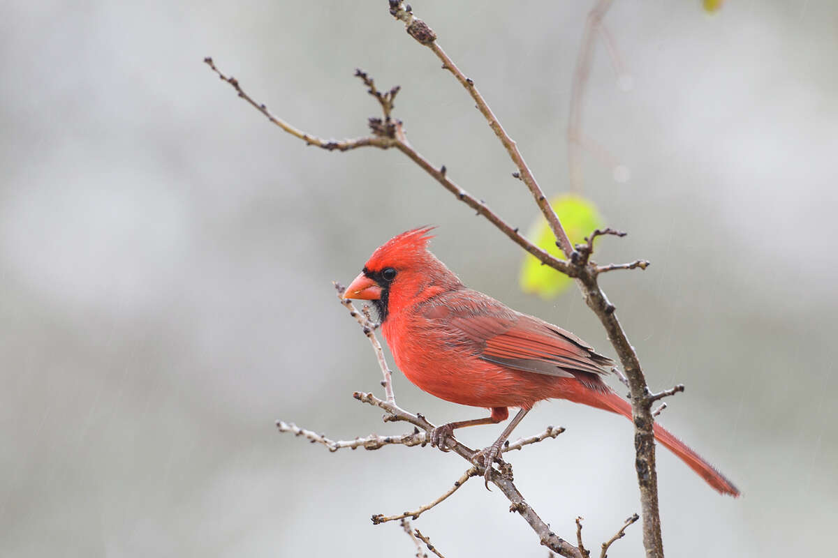 Northern cardinals, with their cheery song and red color, remind us of the holiday season.