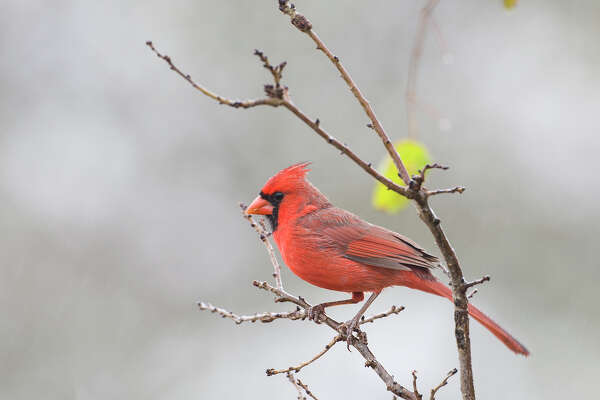 Cardinal Decorations A Holiday Tradition Houstonchronicle