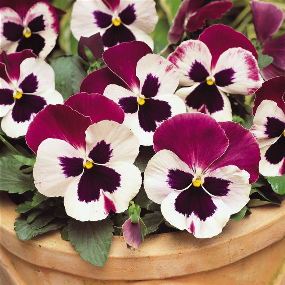 Pansy (Viola wittrockiana) / handout