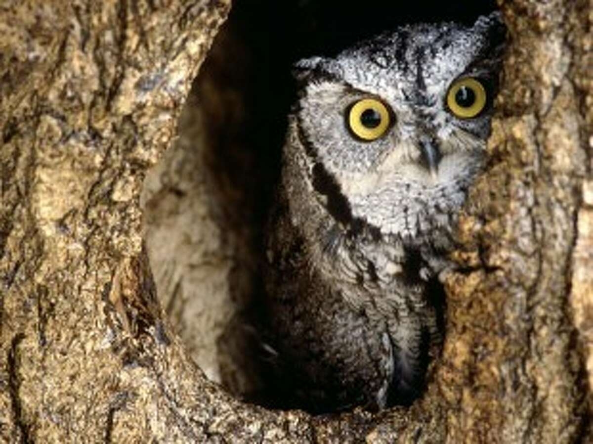Learn about the Eastern screech owl during a workshop at the Houston Arboretum and Nature Center.