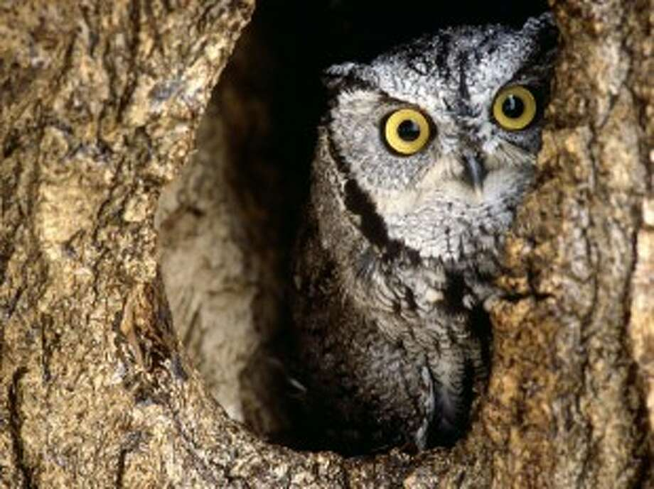 Learn about the Eastern screech owl during a workshop at the Houston Arboretum and Nature Center. Photo: Courtesy Of The Houston Arboretum And Nature Center