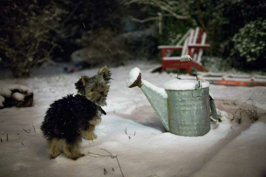 Yorkie pup Delilah checks out snow for the first time early Friday morning as snow continues to fall on Friday, December 20, 2013 in Seattle. Photo: JOSHUA TRUJILLO, SEATTLEPI.COM / SEATTLEPI.COM