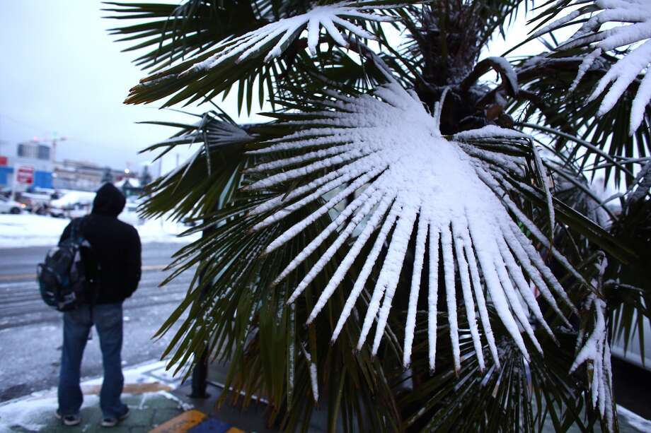 Snow gathers on a palm frond at a bus stop at the intersection of Denny Way and Stewart Street. Photo: JOSHUA TRUJILLO, SEATTLEPI.COM STAFF