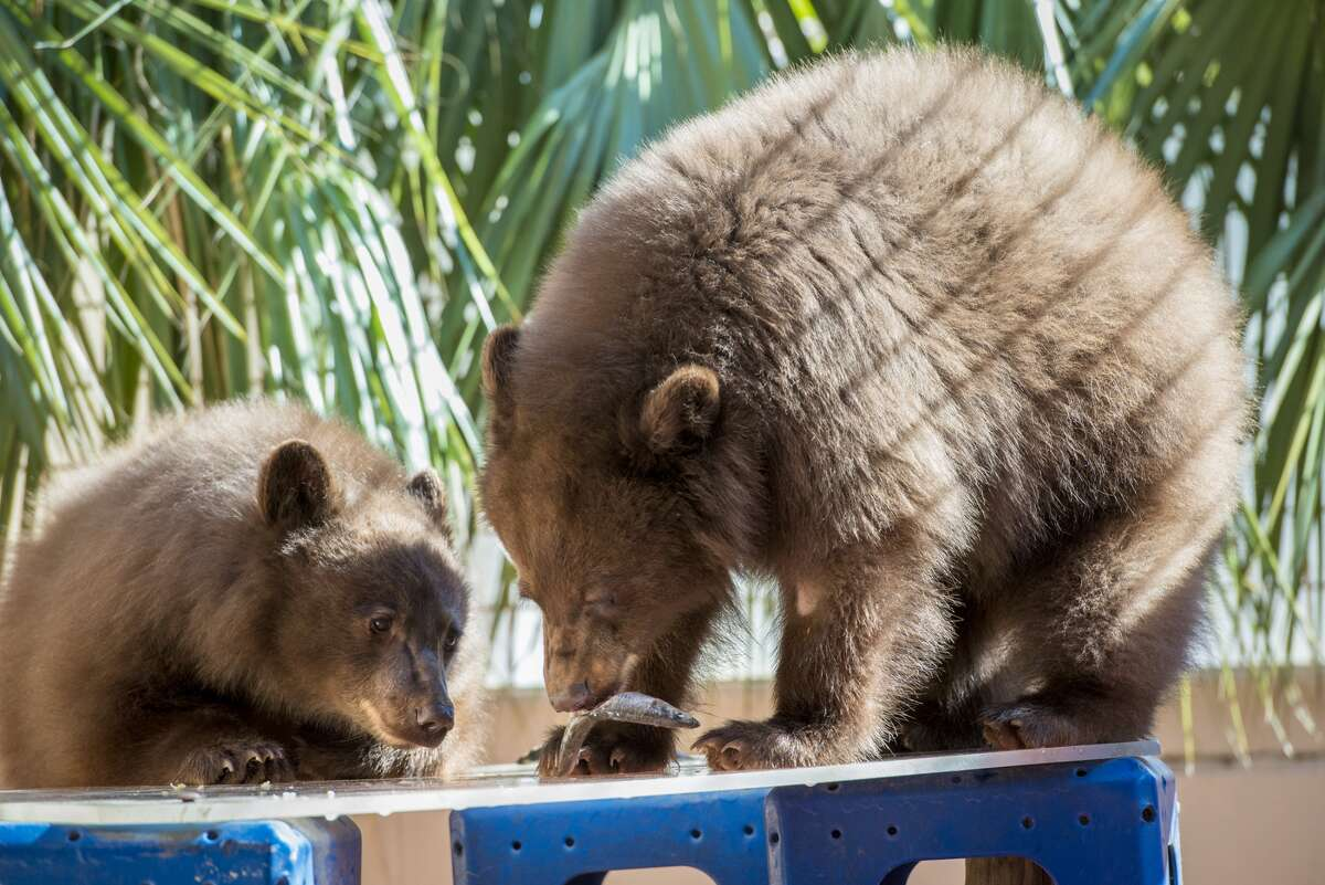 December 2013: Belle and Willow took just 30 minutes to find a way out of their enclosure at the Houston Zoo, scaling the wall to roam free in a planter area above as visitors watched on. The bears never did make it into a public area.
