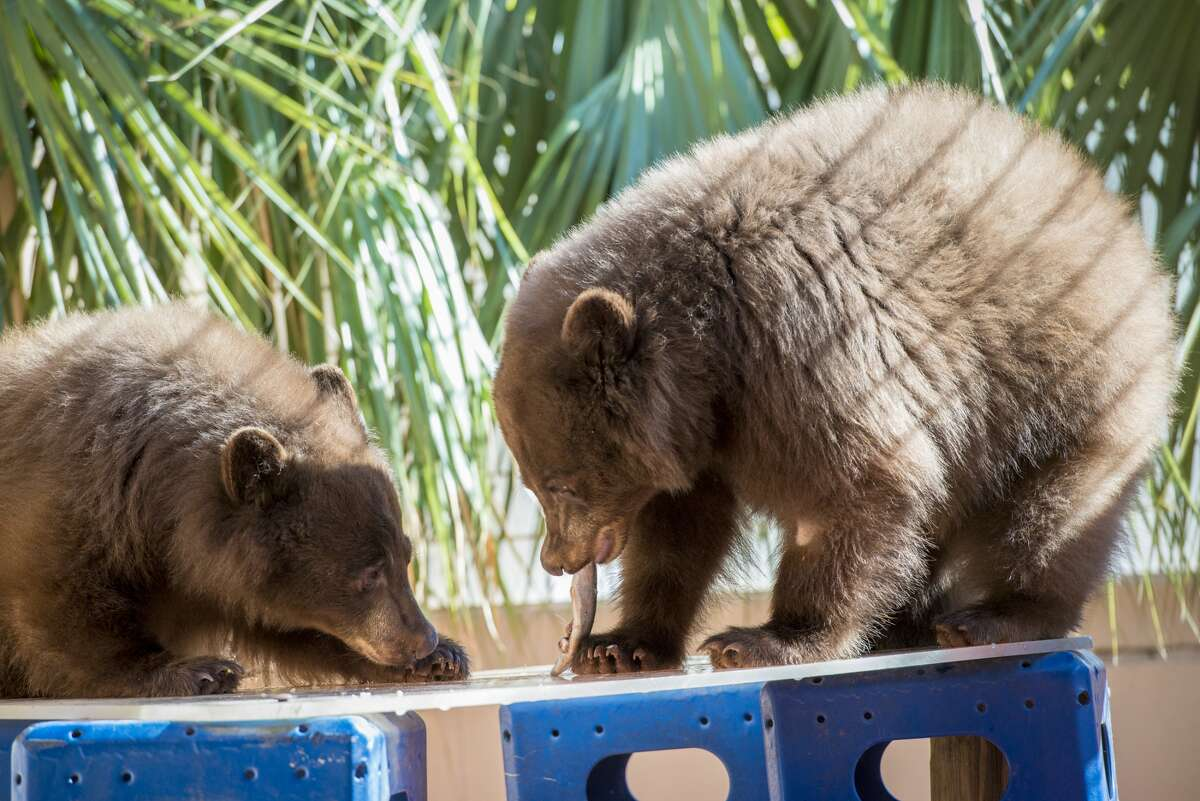 The two were originally brought here after being orphaned in California. They had befriended locals at a nearby bar who fed them and kept them alive when they should still have been with their mother.