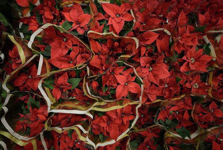 Poinsettias need to look lush and fresh at the nursery. Once home, they need to be kept moist and away from cold or hot drafts. Photo: Getty Images / 2013 Getty Images