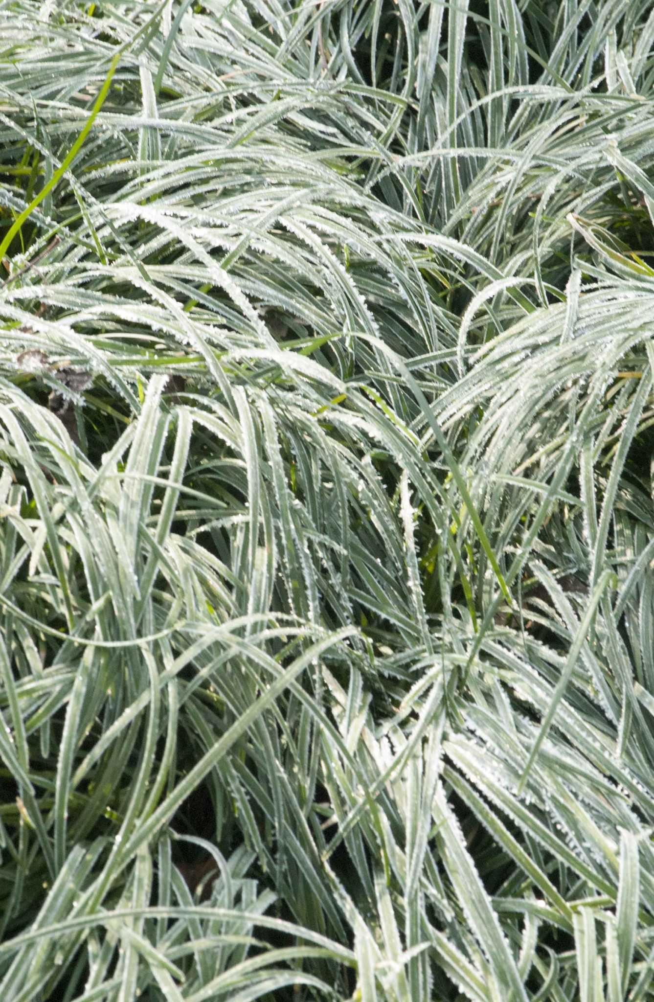 Neil Sperry: Trim Asian jasmine, mondo grass with an eye on looks - San  Antonio Express-News