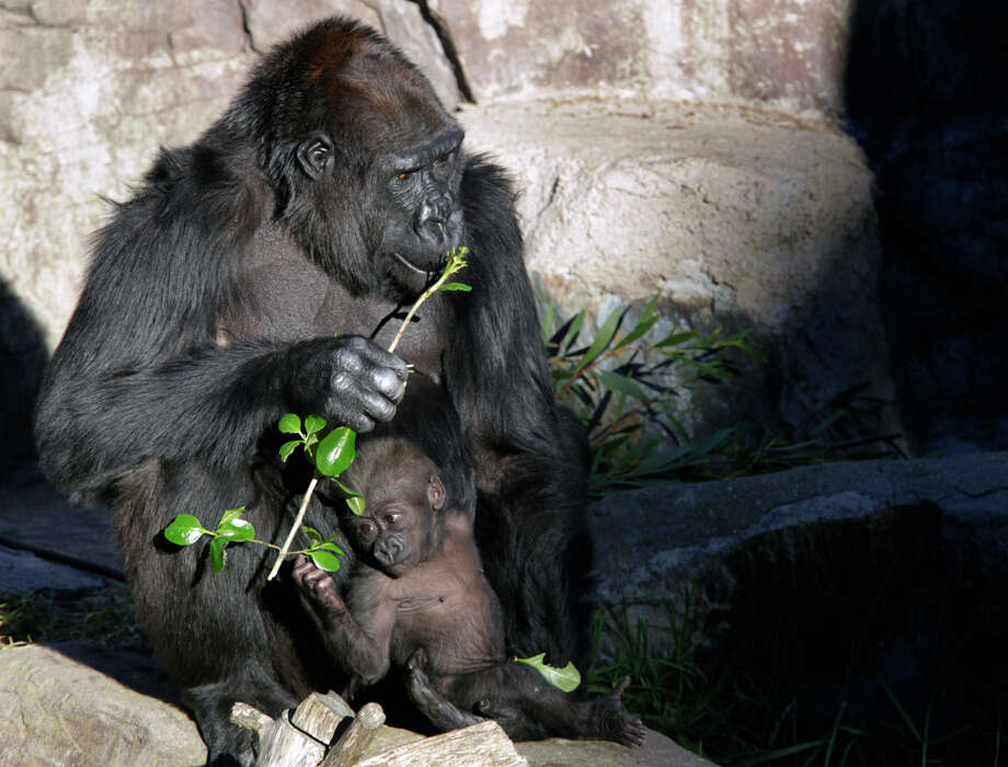 Kabibe, xxxxxx, bonds with her grandmother Bawang at the San Francisco Zoo in December. matriarch of the gorilla colony at the San Francisco Zoo, keeps her new granddaughter by her side in San Francisco, Calif. on Friday, Dec. 20, 2013. It's not uncommon for Bawang to assume the role of the mother for baby gorillas born at the zoo. Kabibe, who was born on July 17 by her mother Nneka, will be introduced to the public for the first time on Saturday. Photo: Paul Chinn / The Chronicle / ONLINE_YES