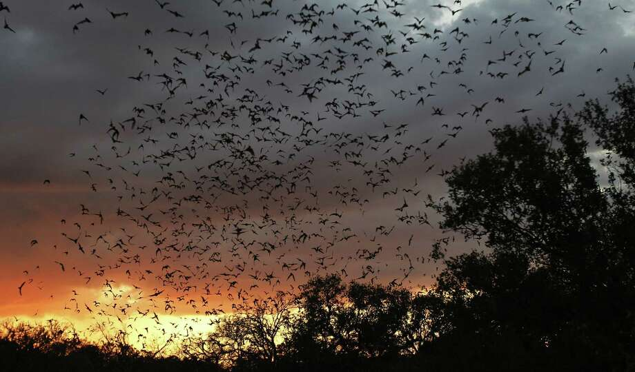 A reader observes that the millions of bats from Bracken Cave consume tons of potentially virus-carrying mosquitoes. Photo: Eric Gay / Associated Press / AP