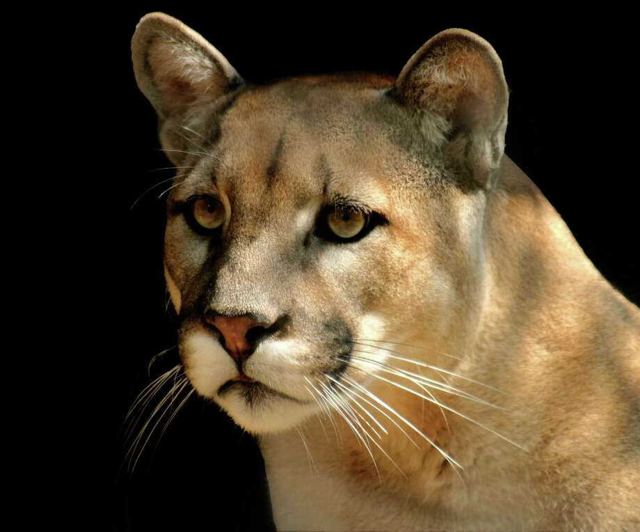 Whether it's called a puma, panther, mountain lion, catamount or painter, it's all the same animal. And Leon Hale has been waiting 20 years without luck to see a mountain lion roaming the land around Winedale. Photo: Joy Fera / Joy Fera - Fotolia