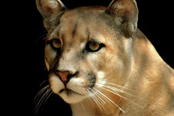 Whether it's called a puma, panther, mountain lion, catamount or painter, it's all the same animal. And Leon Hale has been waiting 20 years without luck to see a mountain lion roaming the land around Winedale.