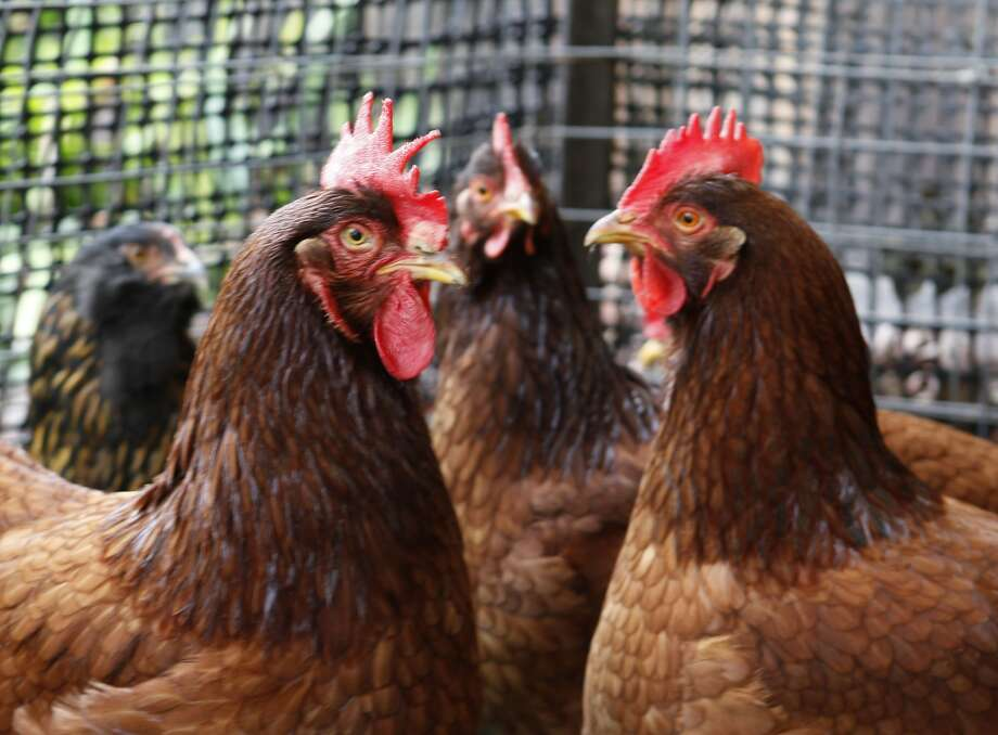 Some of the eight hens in the backyard of Adrienne Duncan's Palo Alto, Calif., home are photographed on Wednesday, February 18, 2009. Photo: Michael Maloney, The Chronicle