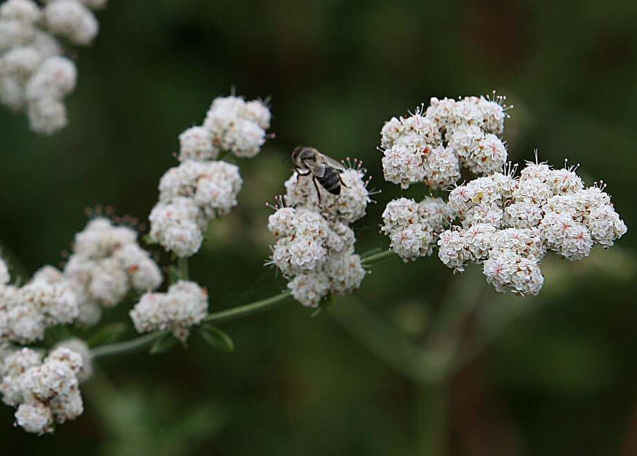 Freely blooming California buckwheats (Eriogonum) are considered one of the top food sources for local pollinators and birds. Photo: Liz Hafalia, The Chronicle