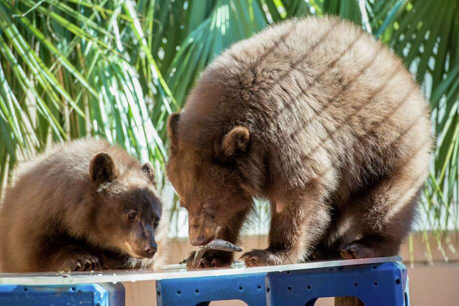 Belle and Willow came to the Houston Zoo from Los Padres National Forest in California, where they were known as Yogi and Boo-Boo and had become adept at begging from campers and visitors at a nearby bar.