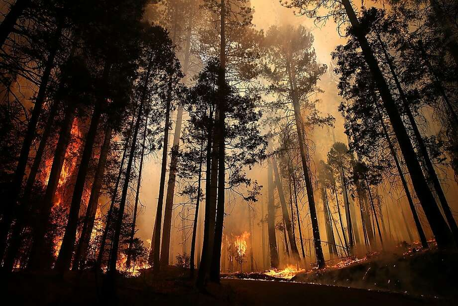 Flames from the Rim Fire consume trees on August 25, 2013 near Groveland, California. The Rim Fire continues to burn out of control and threatens 4,500 homes outside of Yosemite National Park. Over 2,000 firefighters are battling the blaze that has entered a section of Yosemite National Park and is currently 7 percent contained. Photo: Justin Sullivan, Getty Images