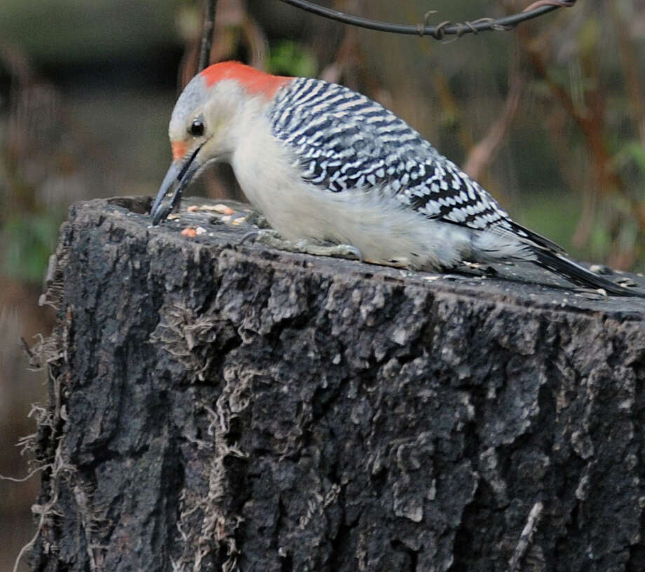 A Red-bellied woodpecker eats seeds from a stump in the backyard of a Byram Road home in Greenwich, Saturday morning, Dec. 21, 2013. Photo: Bob Luckey / Greenwich Time