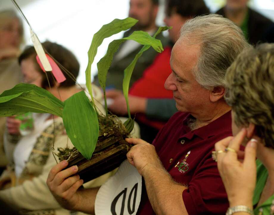 Larry Desiano looks at a plant during Saturday's orchid auction at the Bartlett Arboretum hosted by the North East Judging Center of the American Orchid Society on December 21, 2013. Photo: Lindsay Perry / Stamford Advocate