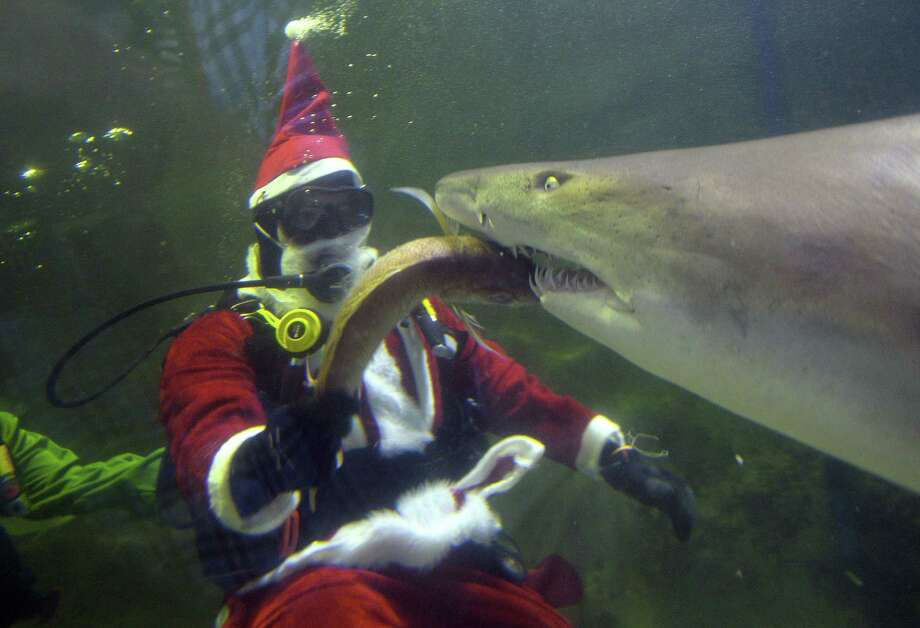 A diver dressed as Santa Claus feeds a shark at the Manly Sea Life Sanctuary in Sydney on December 18, 2013.  School children along with tourists visited to watch Santa Claus feeding fish at different times of the day in conjunction with Christmas festivities. Photo: SAEED KHAN, AFP/Getty Images / AFP