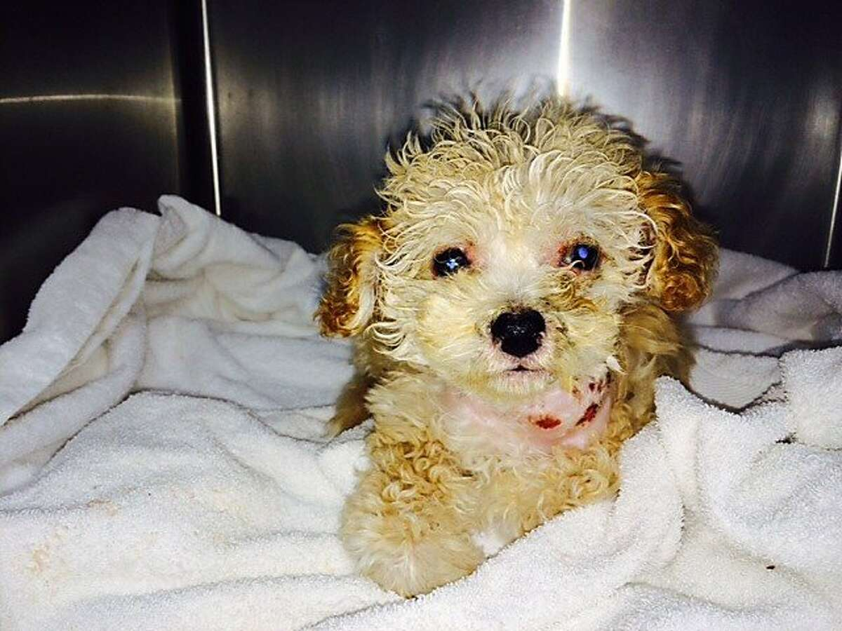 10-week-old female apricot poodle puppy, dubbed Gem, was found on injured on a conveyer belt at the dump in San Francisco on Sunday December, 22. Animal Care and Control said the puppy was conscious and alert when discovered by Recology staff.