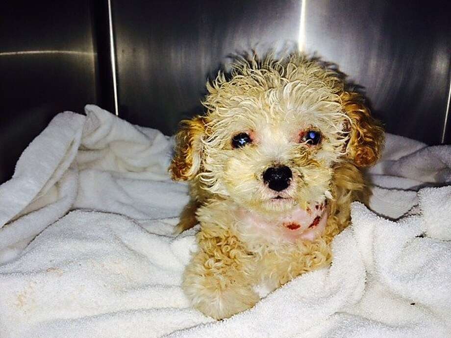 The rescued 10-week-old female apricot poodle puppy has been named Gem. Photo: Photo Courtesy Of Animal Care &