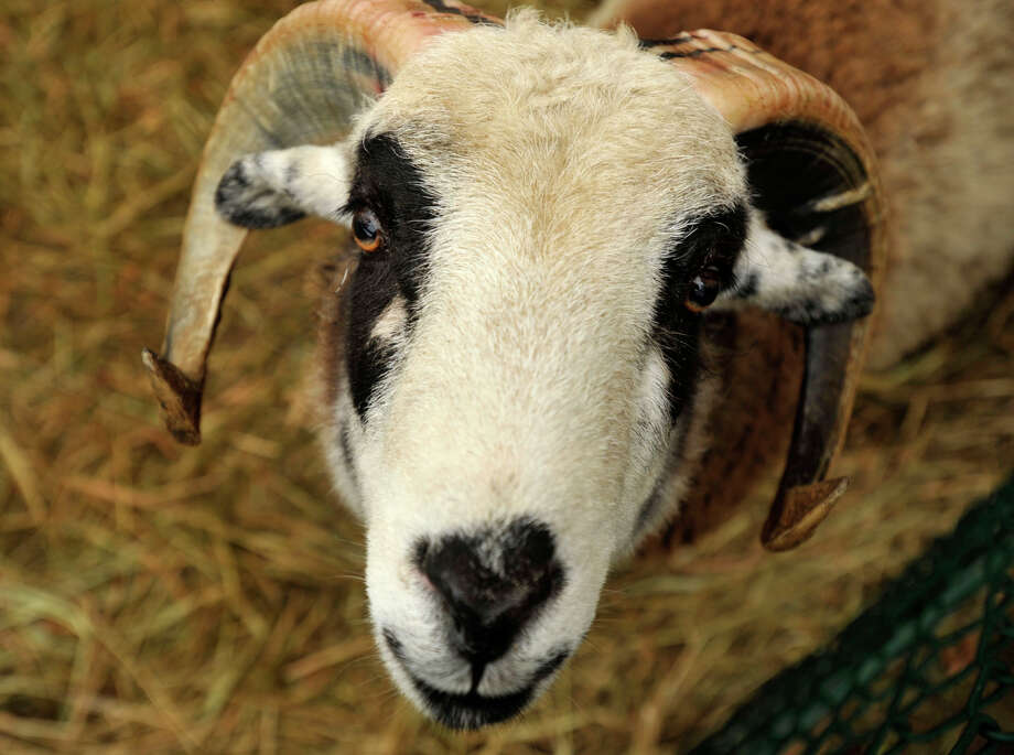 One of the sheep on display looks up from its pen during the live nativity scene in front of the First Congregational Church of Greenwich in Old Greenwich, Conn., on Sunday, Dec. 22, 2013. Earlier in the week both sheep escaped the pen but were returned unharmed. Photo: Jason Rearick / Stamford Advocate