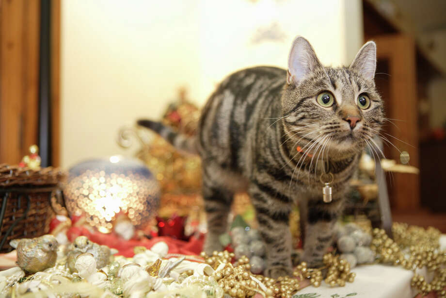 Cats really want to play with your Christmas decorations, but really hate getting caught. Photo: Getty Images