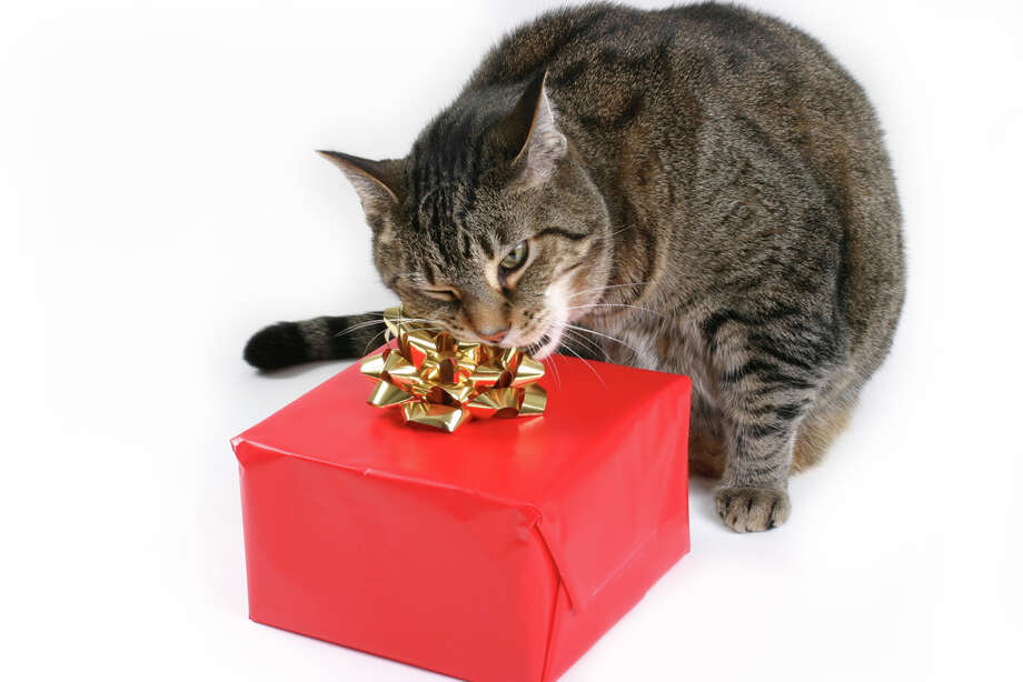 This cat is exacting revenge because he didn't get any turkey. Photo: Sharon Dominick, Getty Images / (c) Sharon Dominick