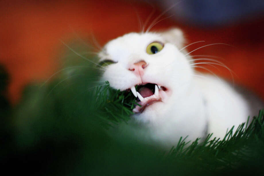 """Maybe if I eat the tree, Christmas will be over!"" Photo: Caro Sheridan / Splityarn, Getty Images / Flickr RF"