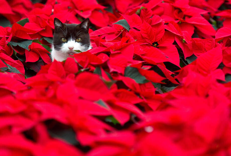 """I'm not supposed to eat poinsettias, but you make me sit in them. I don't get you."" Photo: PATRICK PLEUL, Getty Images / 2012 AFP"