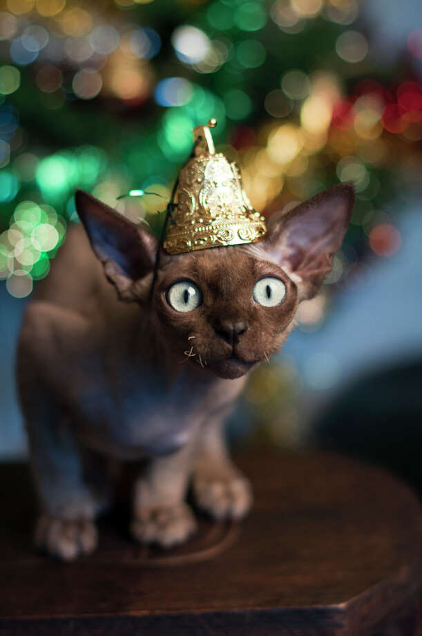 This cat is just shocked that he didn't get antlers, too. Photo: Alison Morgan, Getty Images / Flickr RF
