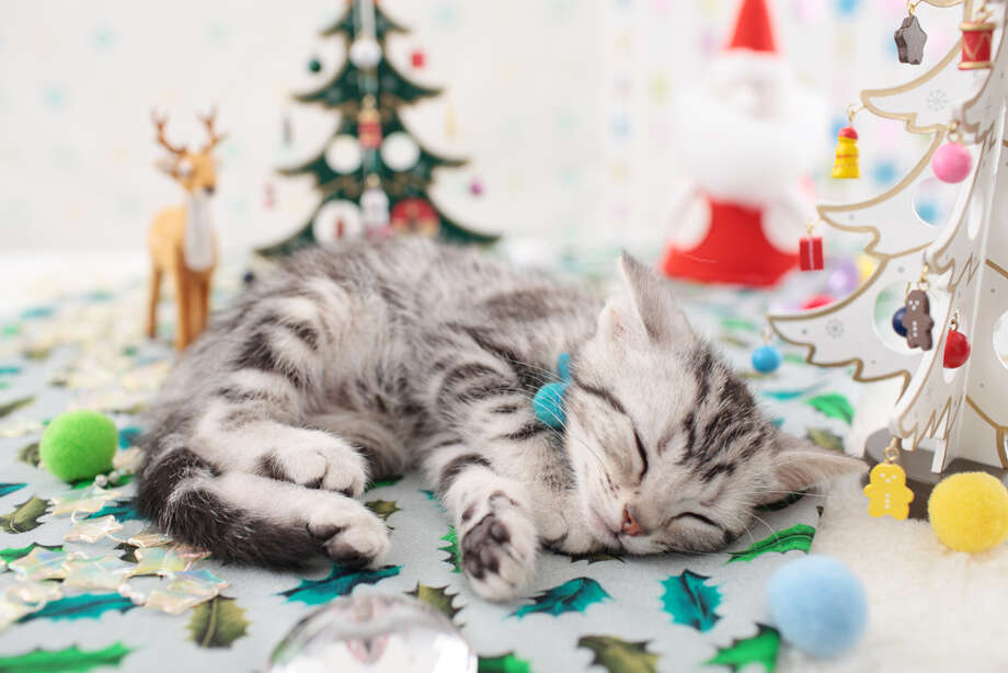 Finally, a happy cat. Is it a coincidence he's sleeping? Merry Christmas, everyone! Photo: SHINYA SASAKI/Aflo, Getty Images / Score RF