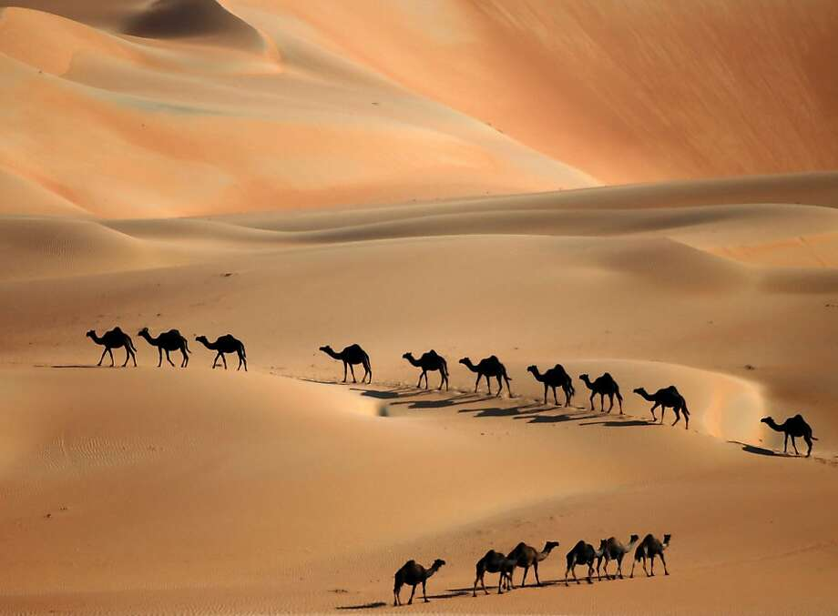Camels walk along sand dunes in the Liwa desert, 220 kms west of Abu Dhabi, as the Mazayin Dhafra Camel Festival takes place on December 22, 2013. The festival, which attracts participants from around the Gulf region, includes a camel beauty contest, a display of UAE handcrafts and other activities aimed at promoting the country's folklore. AFP PHOTO/KARIM SAHIBKARIM SAHIB/AFP/Getty Images Photo: Karim Sahib, AFP/Getty Images