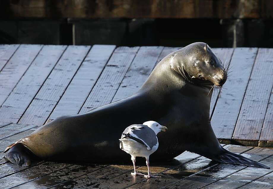 A sea lion keeps a watchful eye on a gull at Pier 39 in San Francisco, Calif. on Saturday, Jan. 19, 2013. Photo: Paul Chinn, The Chronicle