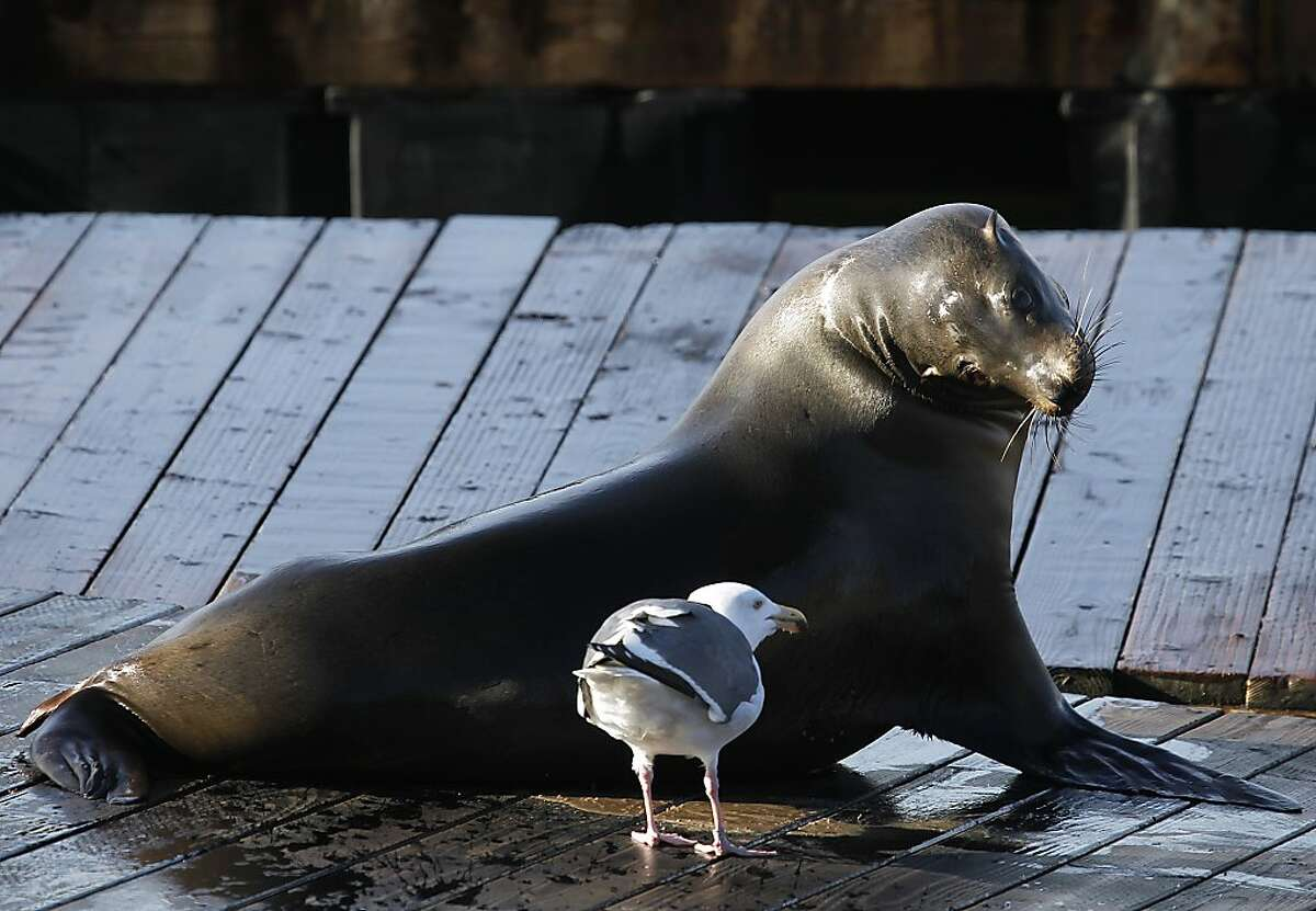 A sea lion keeps a watchful eye on a gull at Pier 39 in San Francisco, Calif. on Saturday, Jan. 19, 2013.