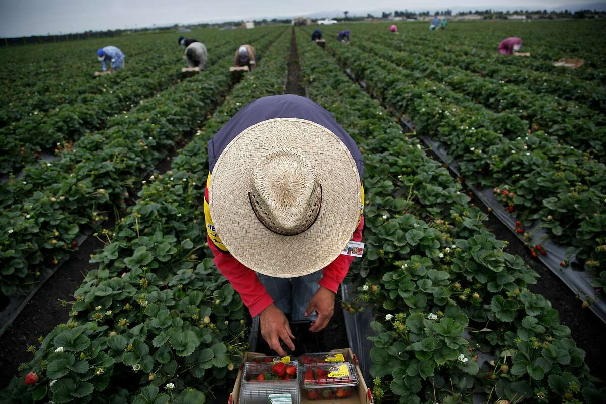 Jose Gomez (center) picks strawberries with his crew in Salinas, Calif., on Friday, August 9, 2013.