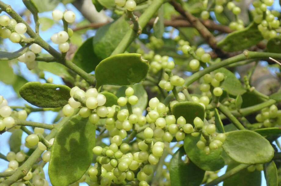 This Texas mistletoe growing from a hackberry on the Mims place is similar but not identical to the European species. Photo: Forrest M. Mims III / For The Express-News