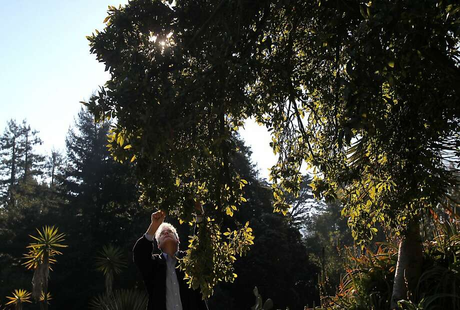 Grower C. Todd Kennedy inspects the fruit on a tejocote tree in the Botanical Garden in Golden Gate Park. Photo: Leah Millis, The Chronicle