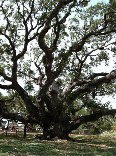 Rockport's Big Tree in Goose Island State Park on Aransas Pass is estimated to be more than 1,500 years old. Photo: Andrew Dansby / Houston Chronicle