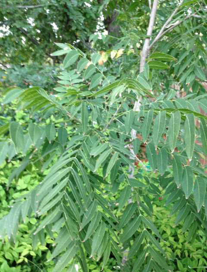Tree of heaven is weedy. If it shows up in your landscape, remove it. Photo: Courtesy Neil Sperry