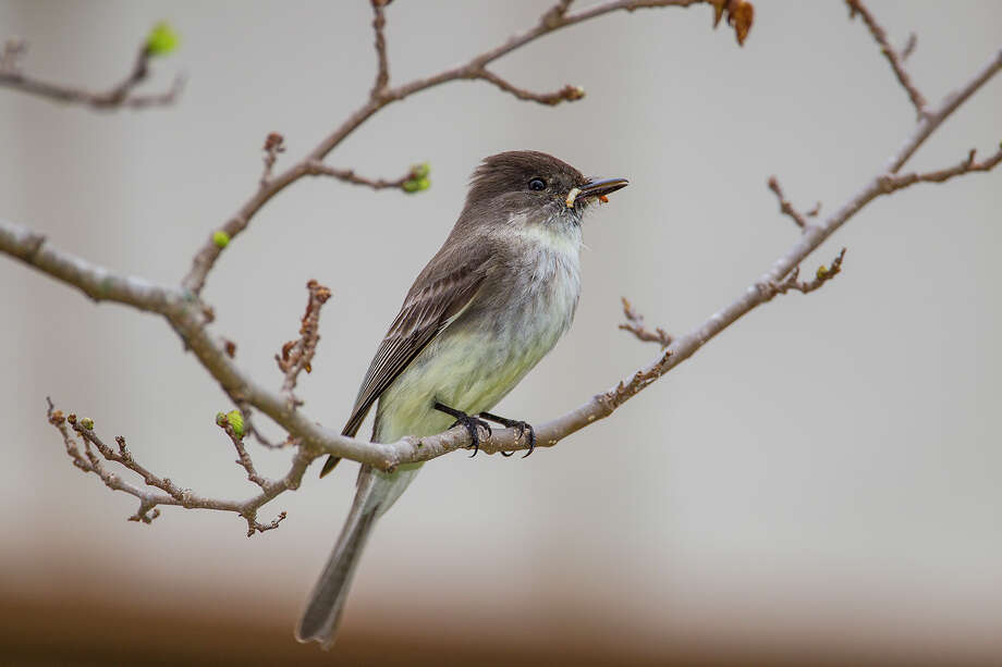 A good way to learn about birds is to get to know neighborhood birds like this eastern phoebe.  Eastern phoebe will be common through the winter into spring.  Photo Credit:  Kathy Adams Clark.  Restricted use. Photo: Kathy Adams Clark / Kathy Adams Clark/KAC Productions