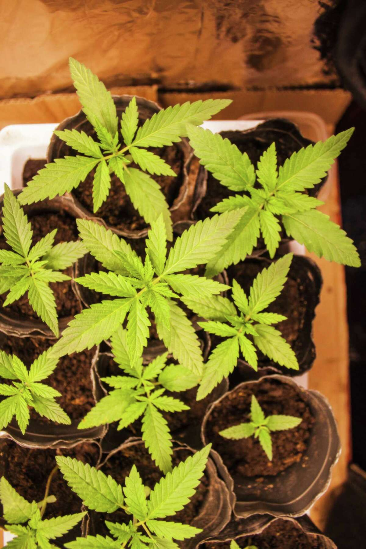How much can you have in Oregon? Adults 21 and over are allowed to possess one ounce of usable marijuana while in public. Like Washington, users are allowed higher quantities if the cannabis is in solid or liquid form (16 or 72 ounces, respectively).Privately, Oregon users can possess up to eight ounces of usable marijuana (the other limits stay the same, however). Can I grow it? Yes! Recreational users (again, of the legal age) can purchase seeds, immature plants and more from licensed retailers and are allowed to have four marijuana plants per household. Oregon lawmakers want to be very clear that this does not mean four plants per person.